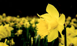 Yellow daffodils in spring. A field of golden yellow daffodils in springtime Royalty Free Stock Images