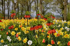 Yellow daffodils in spring. Field of yellow daffodils and trees. Spring landscape Royalty Free Stock Images