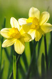 Yellow daffodils in spring sunshine Stock Image