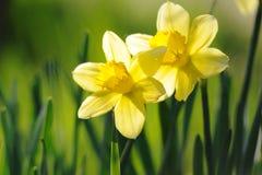 Yellow daffodils in spring sunshine. Beautiful yellow daffodils in spring sunshine Stock Photography