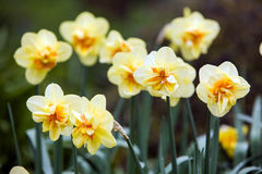 Yellow daffodils in spring time Royalty Free Stock Image