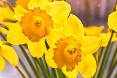 Yellow daffodils at sunset. Backlit.  The background is blurred Royalty Free Stock Photography
