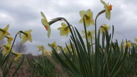 Yellow Daffodils sway in a gentle breeze on a cloudy day. stock footage