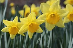 Yellow daffodils, three yellow daffodils stock photography