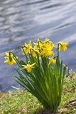Yellow daffodils at the waterside Royalty Free Stock Photography