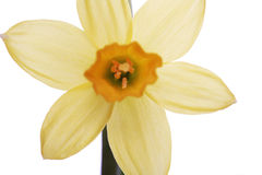 Yellow daffodils on a white background Stock Images
