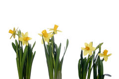 Yellow daffodils on a white background Royalty Free Stock Images