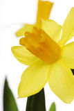Yellow daffodils on a white background Stock Photography