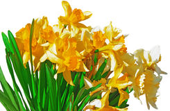 Yellow daffodils on white background Stock Photos