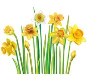 Yellow daffodils on a white background stock illustration