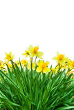 Yellow daffodils  in white background, view from below. Royalty Free Stock Photo