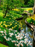 Yellow daffodils and white narcissi at Keukenhof Gardens, Lisse, South Holland. Photographed in HDR high dynamic range. Vibrant yellow daffodils and white stock photos