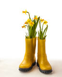Yellow daffodils in yellow rubber boots Stock Image