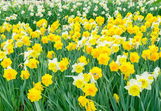 Yellow daffosdils Royalty Free Stock Photos