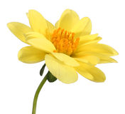 Yellow Dahlia Stock Photography