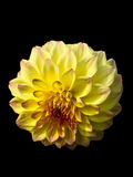 Yellow dahlia. With red petals in the middle over black, clipping path included Stock Image