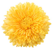 Yellow dahlia Royalty Free Stock Image