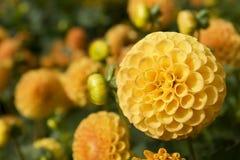 Yellow Dahlia. Macro of a yellow dahlia in autum Stock Images