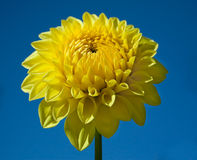 Yellow Dahlia and Blue Sky. A gorgeous yellow dahlia against a perfectly deep blue sky Royalty Free Stock Images