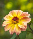 Yellow Dahlia Royalty Free Stock Images