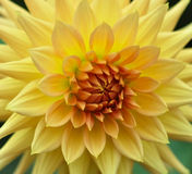 Yellow Dahlia Stock Photos