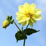 Yellow dahlia flower Royalty Free Stock Photography