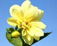 Yellow dahlia flower Royalty Free Stock Image