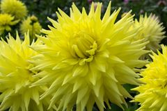 Yellow dahlia flower, beatyful bouquet or decoration from the ga Stock Photo