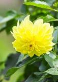 Yellow dahlia flower Stock Image