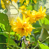 Yellow dahlia flower, daisy or chrysanthemum, natural colored Royalty Free Stock Photos