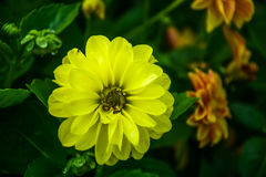 Yellow Dahlia flower with dew drops Royalty Free Stock Photo