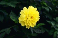 Yellow dahlia flower. Dahlia yellow flower in garden ,closeup Royalty Free Stock Images