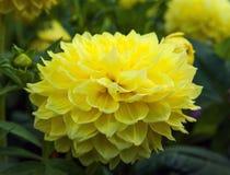 Yellow Dahlia Stock Image