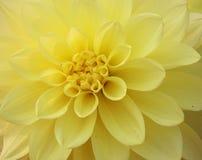 Yellow dahlia flower royalty free stock photos