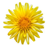 Yellow Dahlia Flower Isolated on White Stock Photo