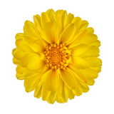 Yellow Dahlia Flower Isolated on White Royalty Free Stock Photos