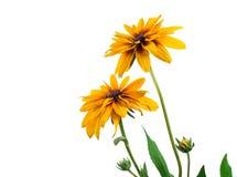 Yellow dahlia flower Royalty Free Stock Photo