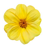 Yellow Dahlia Flower Isolated on White Background Stock Photography