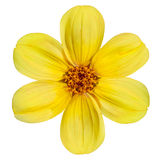 Yellow Dahlia Flower Isolated on White Background. Six Fresh Petals of Beautiful Yellow Dahlia Flower Isolated on White Background Royalty Free Stock Images