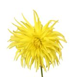 Yellow dahlia Royalty Free Stock Photo