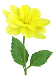 Yellow dahlia flower. With leaves Stock Photos