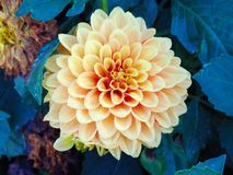 Yellow dahlia flower. Macro shot of garden and ornamental flowers, back, yard, bloom, leaf, plant, weed, green, area, nature, close-up, pollen, powder, beauty stock image
