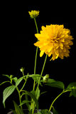 Yellow dahlia flower over black Stock Photo