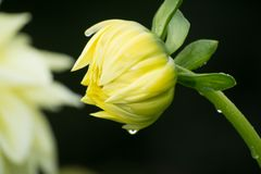 Yellow dahlia flower, beatyful bouquet or decoration from the ga Royalty Free Stock Photography