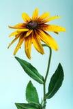 Yellow dahlia flower Stock Photos