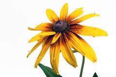 Yellow dahlia flower Stock Photography