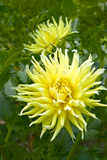 Yellow dahlia flowers Royalty Free Stock Image