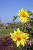 Yellow dahlia flowers. Yellow sunlit dahlia flower against sunny  blue sky Stock Photos
