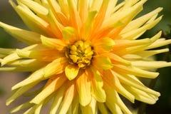 Yellow  dahlia flowers in garden Stock Photo