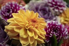 Yellow dahlia surrounded by pink dahlias royalty free stock photography